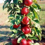Stubasta jabuka - Kraljica Čardasa