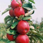 Stubaste jabuke - Rumeno Vreteno