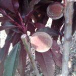 Vocne sadnice - Crvenolisne mini breskve