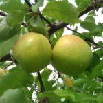 Sadnice voća Jabuke Mutsu