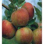 Sadnice jabuka Kozara