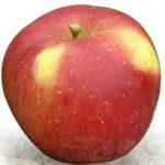 Sadnice voća jabuka Melroze