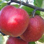 Sadnice voca jabuke Ajdared