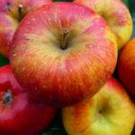 Vocne sadnice jabuka Kolacara