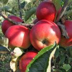 Vocne sadnice jabuka Šumatovka