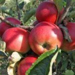 Vocne sadnice jabuke Budimka