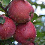 Jabuka Crveni delises Cham spur