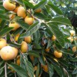 Sadnice japanske jabuke Kaki jiro