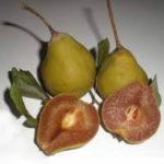 Vocne sadnice - kruska Ječmenka