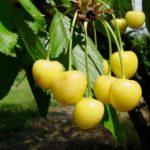 Sadnice voca - tresnja Droganova žuta