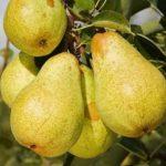 Sadnice voca - kruške Viljamovka žuta