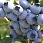 Sadnice borovnica Bluemery
