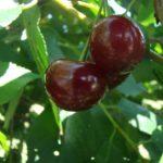 Sadnice višnje - Keleris 16