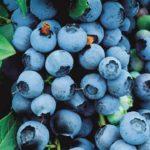 Sadnice voca - borovnica Bluecorp