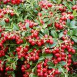 Vocne sadnice brusnice - Coralle
