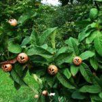 Stare sorte sadnice musmule - Domaća krupna