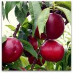 Vocne sadnice nektarine - Fantazija