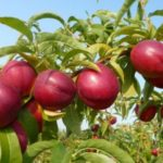 Vocne sadnice nektarine - Stark red gold