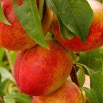 Vocne sadnice nektarine - Indipendens