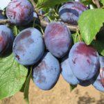 Vocne sadnice sljive - Čacanska rodna