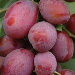 Sadnice voca - šljiva Jubileum