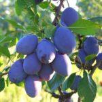 Sadnice voća - šljiva Kalifornijska plava