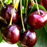 Sadnice trešnje - Burlat
