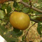 Stare sorte jabuke - Kožara