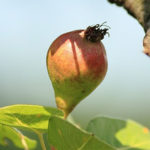 Stare sorte - kruska Takuša