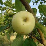 Stare sorte - Petrovaca