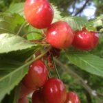 Stare sorte sadnice tresnje - Đurđevka