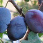 Stare sorte sadnice sljive - Požegača