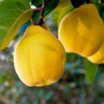 Vocne sadnice - dunje Vranjska