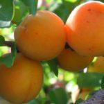 Sorta kajsije - Madjarska rana