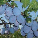 Voćne sadnice šljive - Stenlej
