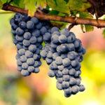 Vinova loza stone sorte - Rubel