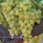 Stona sorta kalema - Kraljica vinograda