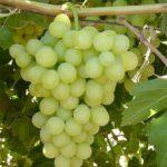 sadnice vinova loza - Medijana