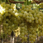 Vinova loza - Muskat Italija