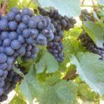 Povoljne cene vinove loze - Frankovka