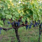 Lozni kalemovi vinske sorte - Prokupac