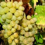 Lozni kalemovi vinove loze - Smederevka