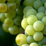 Kalemi vinskih sorti - Šardone